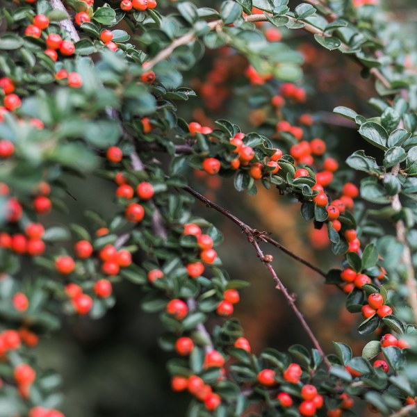 cotoneaster3