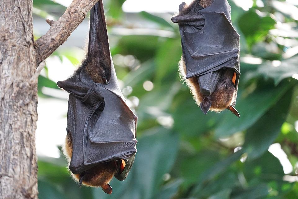 Perché i pipistrelli dormono a testa in giù